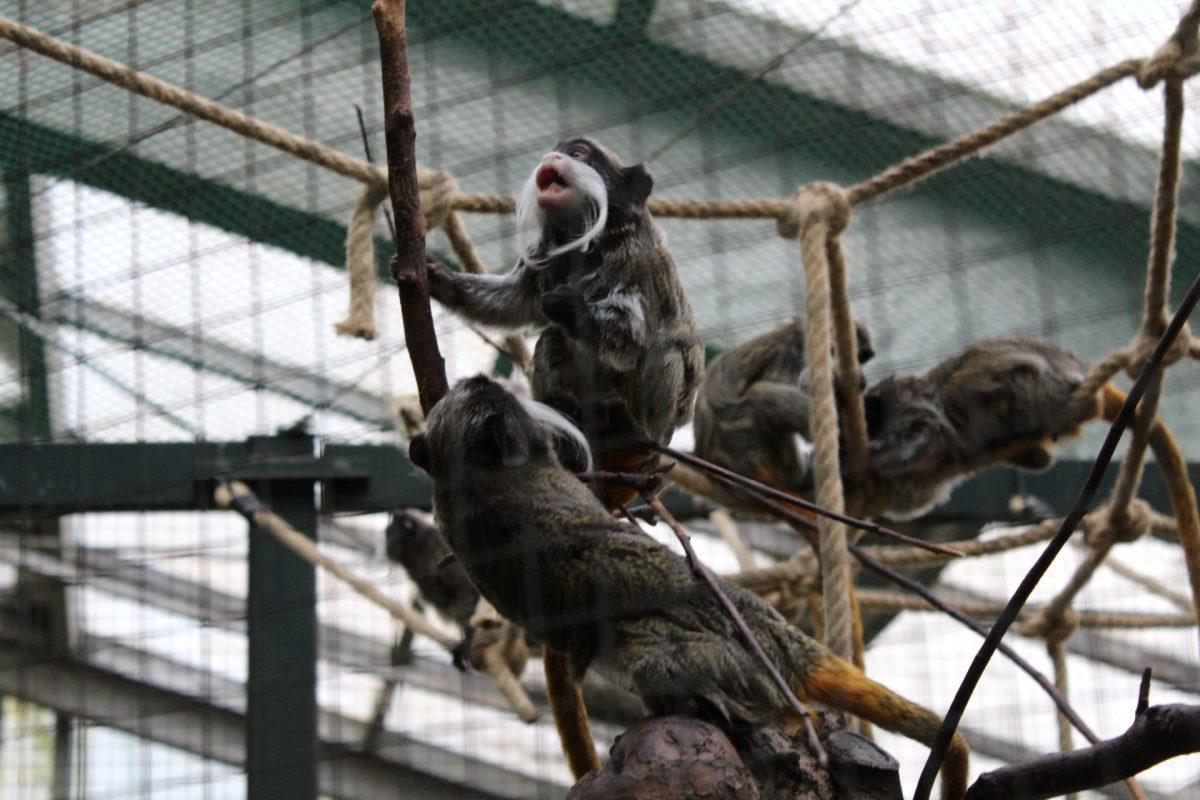 Bei den Kaiserschnurrbart-Tamarinen beteiligt sich eine große Gruppe an der Aufzucht der Jungtiere. Getragen werden sie von den Männchen, gesäugt von der Mutter.
