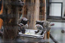 Kaiserschnurrbart-Tamarine im Dortmunder Zoo