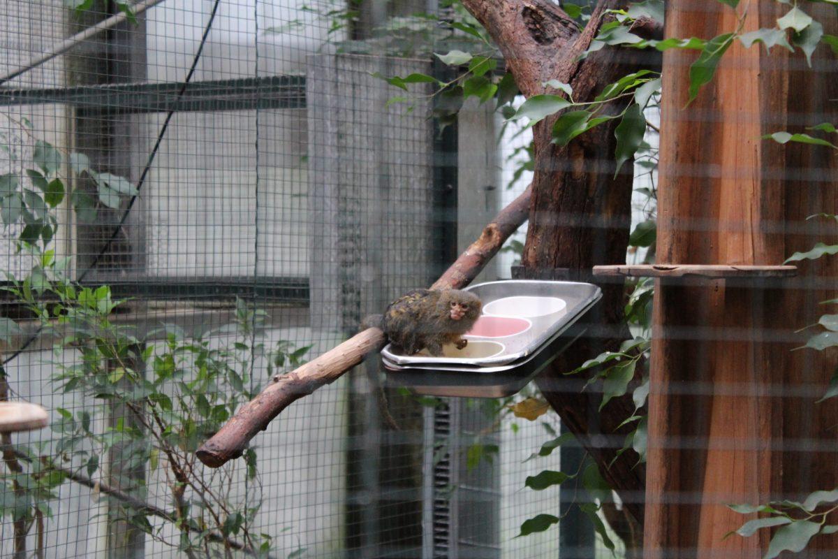 Tropische Tieflandregenwälder sind normalerweise der Lebensraum der Zwergseidenäffchen. Aber auch im Dortmunder Zoo ist es schön und schmeckt lecker. Die Primaten ernähren sich überwiegend von gummiartigen Bäumen.