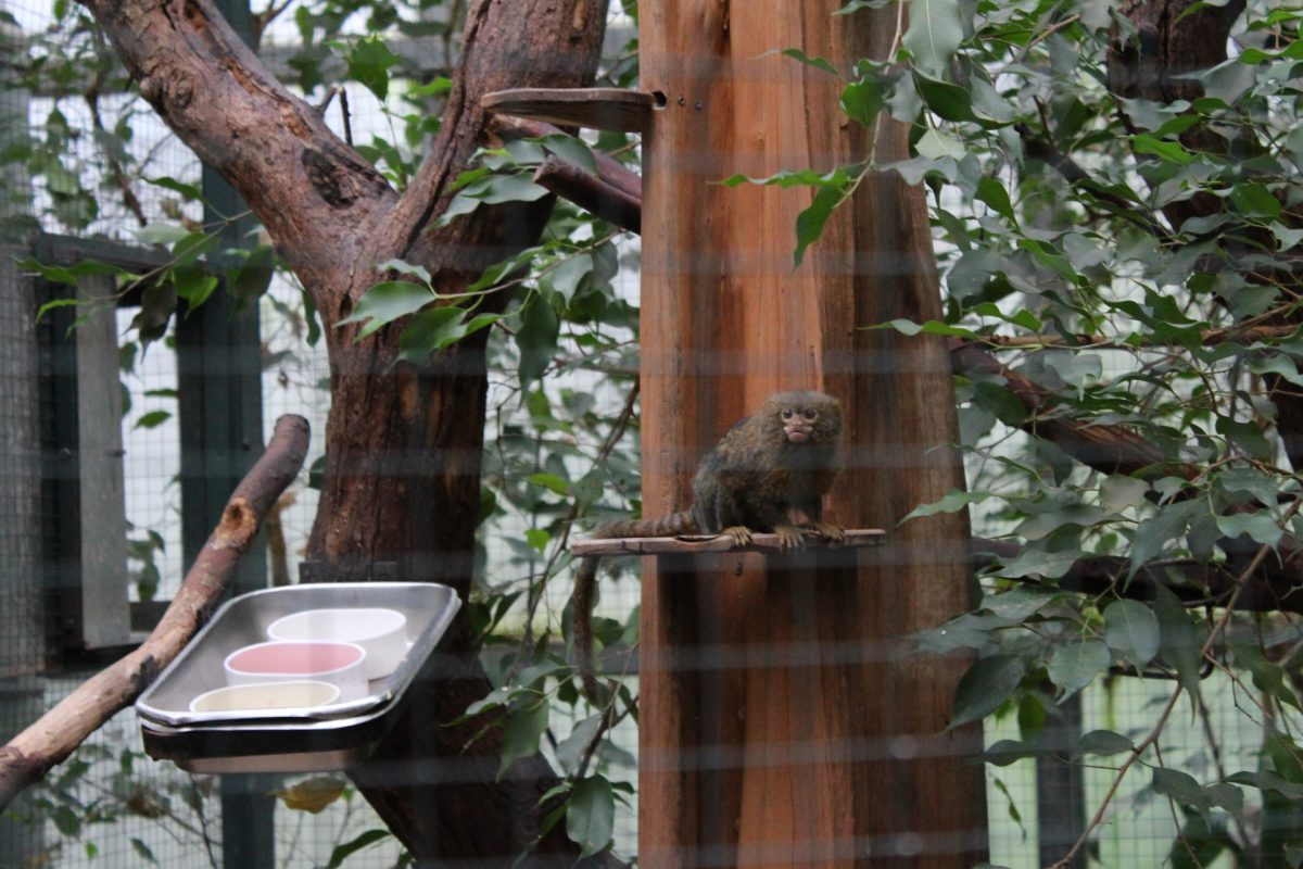 Die Zwergseidenäffchen gehören zu den kleinsten Affenarten. Sie werden nur etwa 13 cm groß.