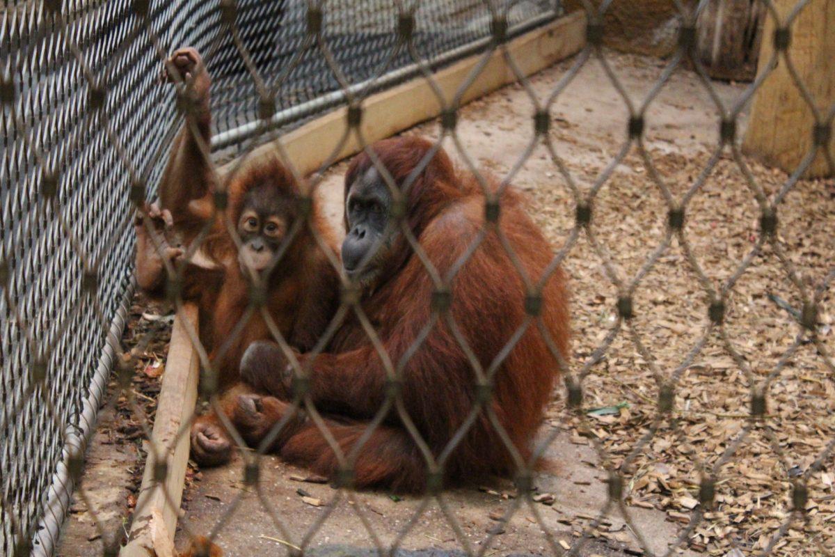 Mutter und Kind halten auch bei den Orang-Utans zusammen. Die Nähe zur Mutter ist sehr wichtig für die Entwicklung des Kindes.
