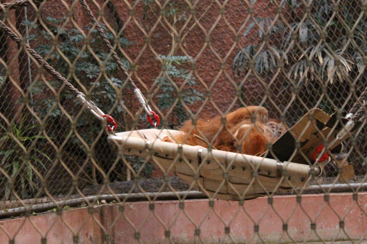 """Der Orang-Utan lebt normalerweise vor allem in Borneo. Hier entspannt ein Eidgenosse gerade im Dortmunder Zoo. Orang-Utans sind stark gefährdet und stehen deshalb auf der """"Roten Liste""""."""