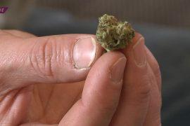 Cannabis ist seit dem 10. März 2017 ohne Ausnahmegenehmigung zu medizinischen Zwecken erlaubt. Etwa zwei Drittel aller Anträge auf Kostenerstattung wurden von den Krankenkassen bewilligt.